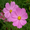 Jigsaw: Pink Flowers