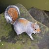 Jigsaw: Posing Squirrel