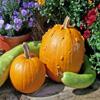 Jigsaw: Pumpkin Garden