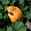 Jigsaw: Pumpkin Hiding