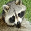 Jigsaw: Raccoon