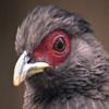 Jigsaw: Red Eye Bird