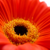 Jigsaw: Red Gerbera