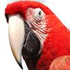 Jigsaw: Red Macaw
