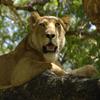 Jigsaw: Resting Lion
