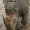 Jigsaw Rhino