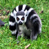 Jigsaw: Ring Tailed Lemur