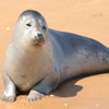 Jigsaw: Seal