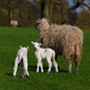 Jigsaw: Sheep And Lamb