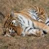 Jigsaw: Sleeping Tiger
