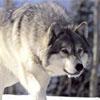Jigsaw Snow Wolf