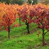 Jigsaw: Sonoma Wine