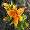 Jigsaw: Sun Lily