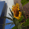 Jigsaw: Sunflower in the City