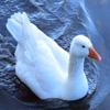 Jigsaw: Swimming Goose