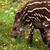 Jigsaw: Tapir Baby