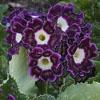 Jigsaw: The purple beauty