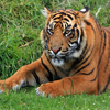 Jigsaw: Tiger Portrait