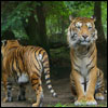 Jigsaw Tigers