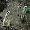 Jigsaw: Two Meerkats