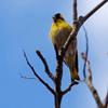 Jigsaw: Yellow Bird
