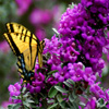 Jigsaw: Yellow Butterfly