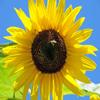 Jigsaw: Yellow Sunflower