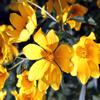 Jigsaw: Yellow Wildflowers