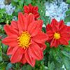 Jiogsaw: Red Dahlia