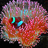 Little anemone fish puzzle