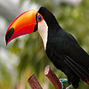Long nosed forest toucans puzzle