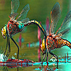 Lovely dragonfly couple slide puzzle