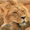 Male Lion Slider Puzzle
