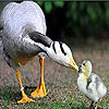Mother and baby duck slide puzzle