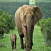 Mother and tiny elephant slide puzzle