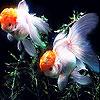 Orange  fishes slide puzzle