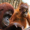 Orangutan Baby & Mother Slider Puzzle
