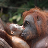 Orangutan Baby Slider Puzzle