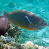 Parrot Fish Puzzle