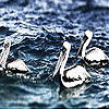 Pelicans in the river slide puzzle