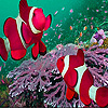 Pink clown fishes in the sea puzzle