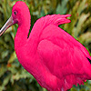 Pink ibis puzzle
