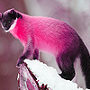 Pink mountain weasel puzzle