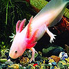 Pink rummy fish puzzle
