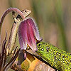 Playful lizard slide puzzle