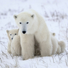 Polar Bear Mother & Baby Slider Puzzle