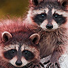Raccoon brothers puzzle