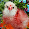 Red chick in garden puzzle