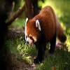 Red Panda Slide Puzzle