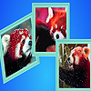 Red pandas in winter puzzle